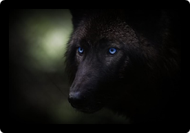 Silver tipped Wolf